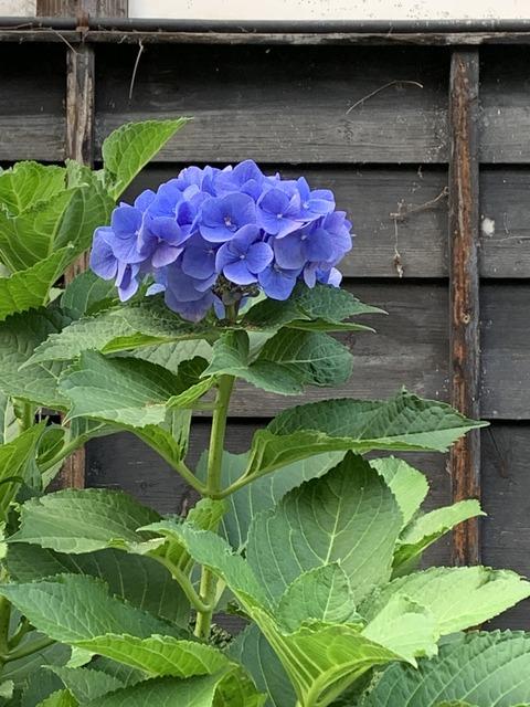 野沢温泉 紫陽花