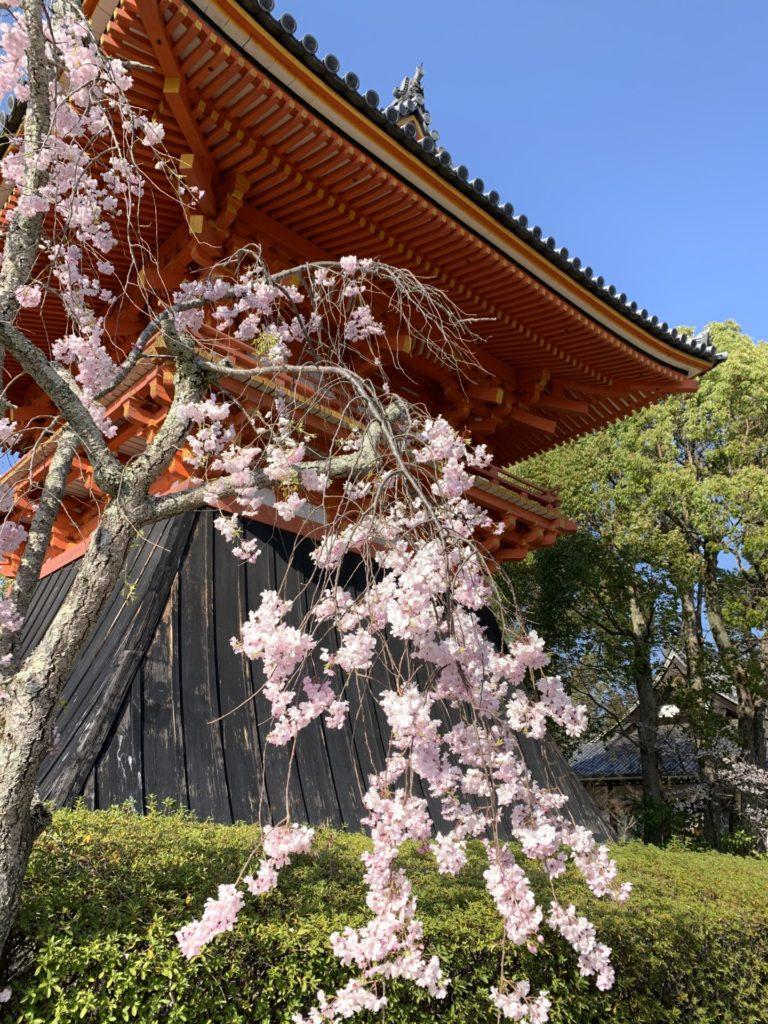 仁和寺 枝垂れ桜