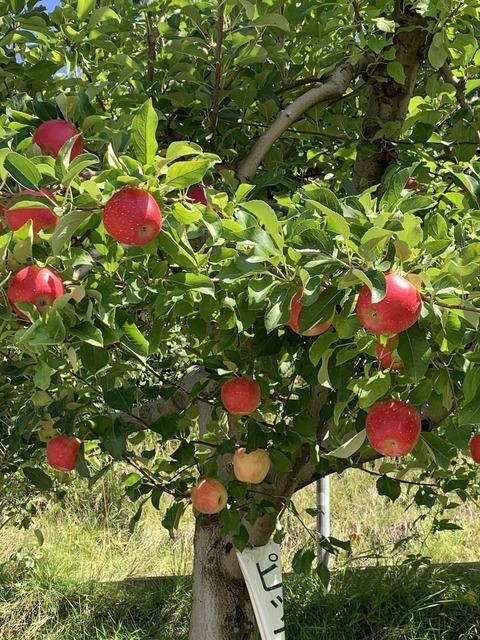 長野 リンゴの木
